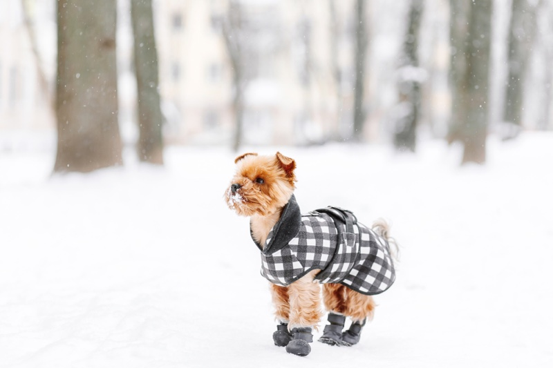 Dog Walking Outdoors Snow Boots Jacket
