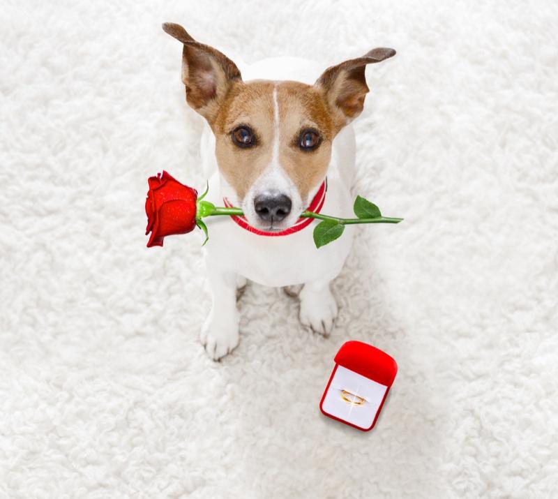 Dog Rose Wedding Proposal Ring Pet