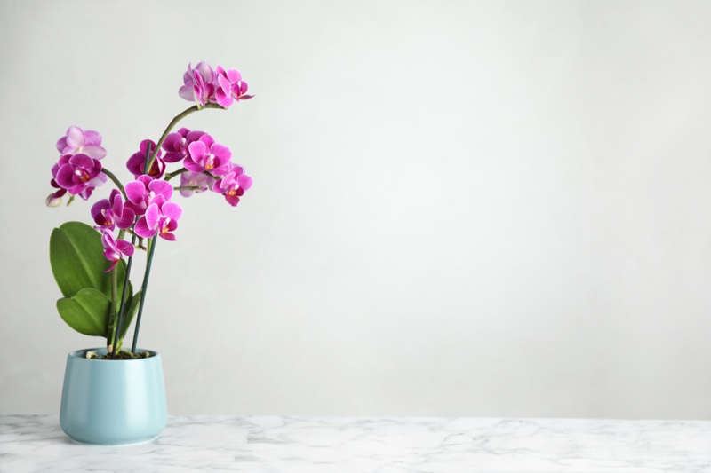 Orchids Potted Plant Pink