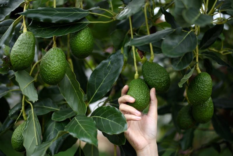 Hand Woman Holding Avocado Vine